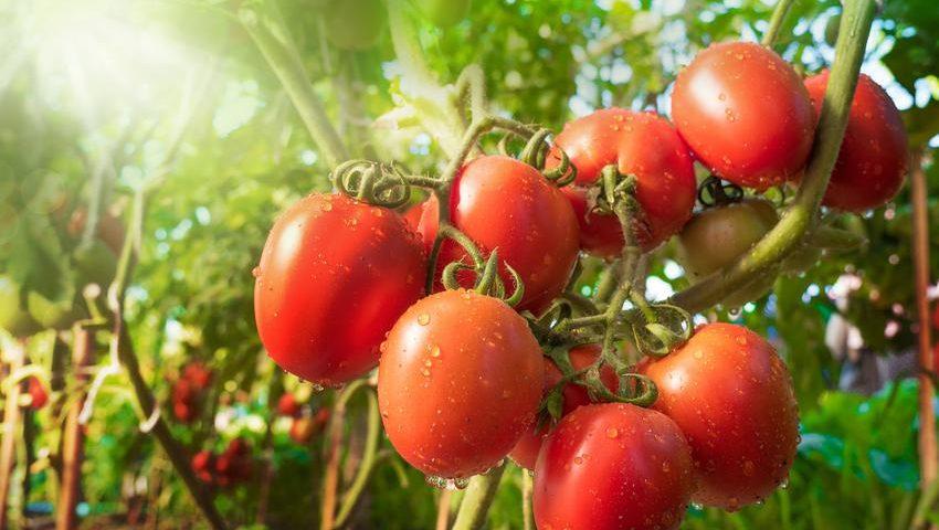 pomidory pelati